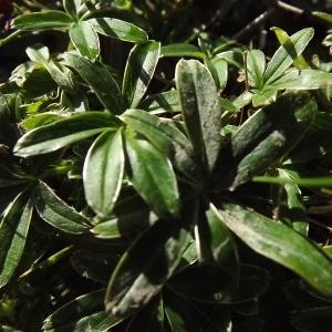 Photographie n°922029 du taxon Alchemilla L. [1753]