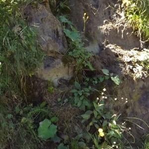 Photographie n°922060 du taxon Crepis paludosa (L.) Moench [1794]