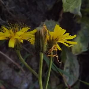 Photographie n°922062 du taxon Crepis paludosa (L.) Moench [1794]