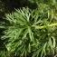 Florent Beck - Aconitum napellus L.