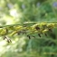 Florent Beck - Molinia caerulea (L.) Moench