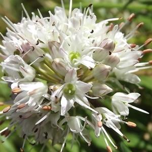 Photographie n°922132 du taxon Allium ericetorum Thore [1803]