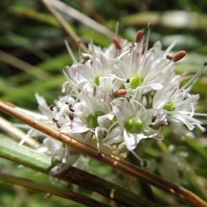 Photographie n°922134 du taxon Allium ericetorum Thore [1803]