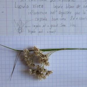 Photographie n°922341 du taxon Luzula nivea (Nathh.) DC. [1805]
