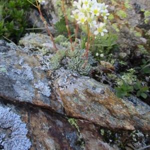Photographie n°922413 du taxon Saxifraga paniculata Mill.