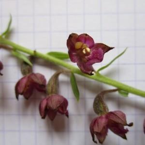 Photographie n°922464 du taxon Cephalanthera rubra (L.) Rich. [1817]