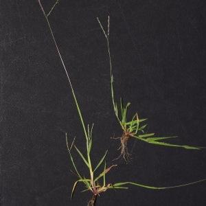 Photographie n°922652 du taxon Digitaria ischaemum (Schreb.) Mühl.