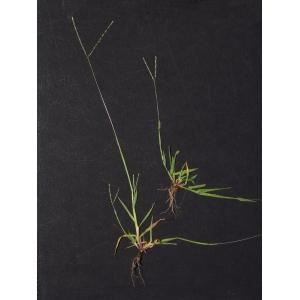 Digitaria ischaemum (Schreb.) Mühl. (Digitaire couchée)
