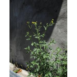 Senecio squalidus subsp. rupestris (Waldst. & Kit.) Greuter [2005] (Séneçon des rochers)