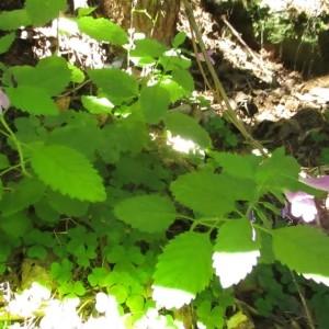 Photographie n°922931 du taxon Melittis melissophyllum L. [1753]