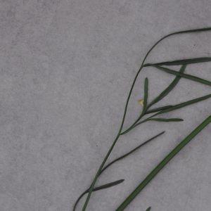 Photographie n°923880 du taxon Oenanthe lachenalii C.C.Gmel. [1805]