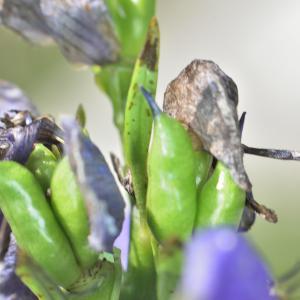 Photographie n°927329 du taxon Aconitum napellus L. [1753]