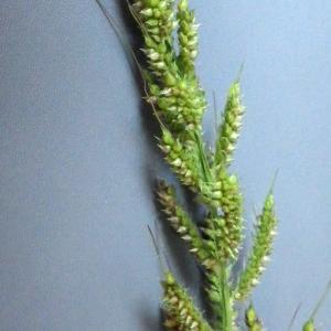 Photographie n°929370 du taxon Echinochloa crus-galli (L.) P.Beauv. [1812]
