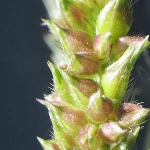 Photographie n°929383 du taxon Echinochloa crus-galli (L.) P.Beauv.