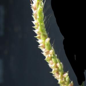 Photographie n°929386 du taxon Echinochloa crus-galli (L.) P.Beauv. [1812]