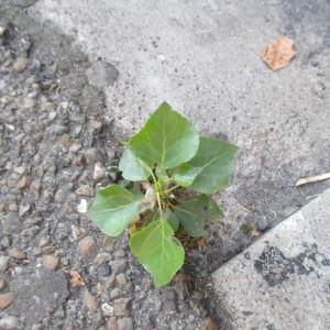Photographie n°929417 du taxon Populus nigra L.
