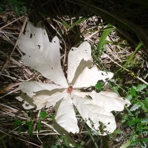 Photographie n°930466 du taxon Quercus L. [1753]