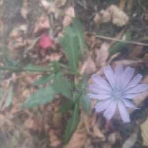 Photographie n°930767 du taxon Cichorium intybus L. [1753]