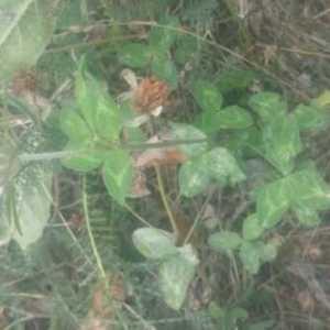 Photographie n°930768 du taxon Trifolium pratense L. [1753]