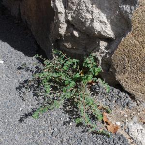 Photographie n°935012 du taxon Euphorbia prostrata Aiton