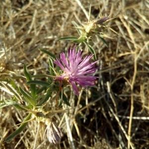 Photographie n°936645 du taxon Centaurea calcitrapa L. [1753]