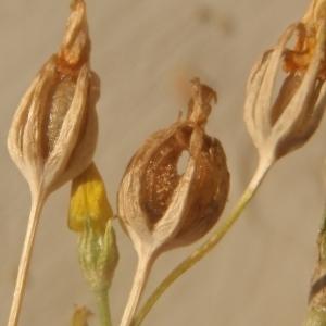Photographie n°937650 du taxon Blackstonia acuminata (W.D.J.Koch & Ziz) Domin [1933]
