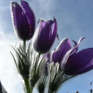 Pulsatilla halleri (All.) Willd. (Anémone de Haller)