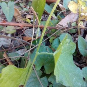 Photographie n°943383 du taxon Bryonia cretica subsp. dioica (Jacq.) Tutin [1968]