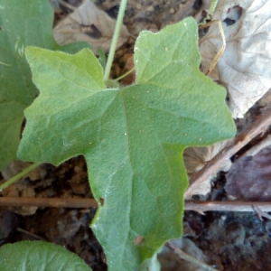 Photographie n°943384 du taxon Bryonia cretica subsp. dioica (Jacq.) Tutin [1968]