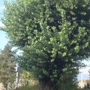 Photographie n°944301 du taxon Populus nigra L.