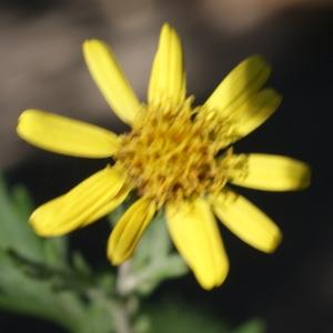 Photographie n°949278 du taxon Jacobaea vulgaris Gaertn. [1791]