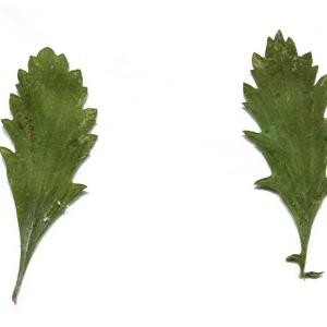 Photographie n°949281 du taxon Jacobaea vulgaris Gaertn. [1791]