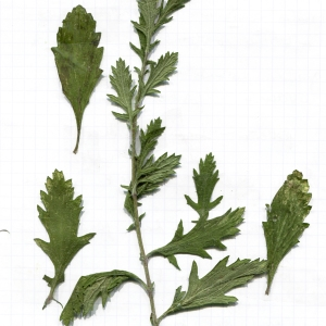 Photographie n°949282 du taxon Jacobaea vulgaris Gaertn. [1791]
