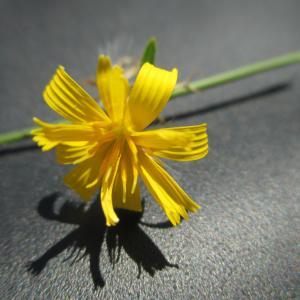 Photographie n°951349 du taxon Chondrilla juncea L. [1753]