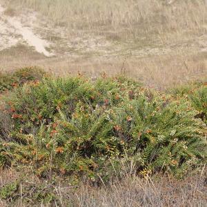Photographie n°952126 du taxon Daphne gnidium L. [1753]