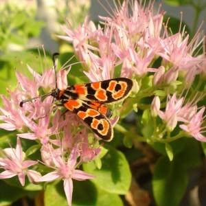 Photographie n°953182 du taxon Hylotelephium spectabile (Boreau) H.Ohba