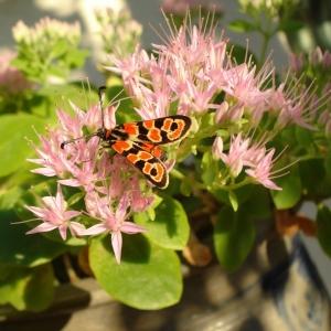 Hylotelephium spectabile (Boreau) H.Ohba (Butterfly Stonecrop)
