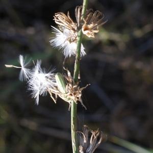 Photographie n°953949 du taxon Chondrilla juncea L. [1753]