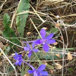 Photographie n°957096 du taxon Pied d'alouette