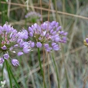 Photographie n°957308 du taxon Allium schoenoprasum L.