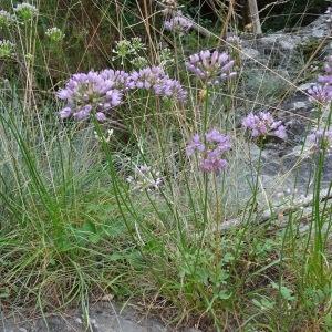 Photographie n°957313 du taxon Allium schoenoprasum L.