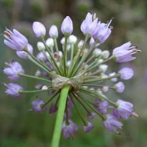 Photographie n°957318 du taxon Allium schoenoprasum L.