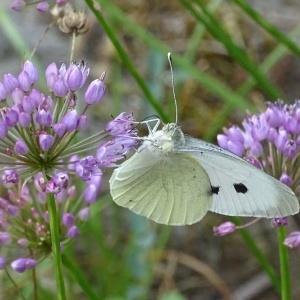 Photographie n°957325 du taxon Allium schoenoprasum L.