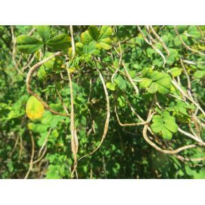 Hippocrepis emerus (L.) Lassen subsp. emerus (Coronille arbrisseau)
