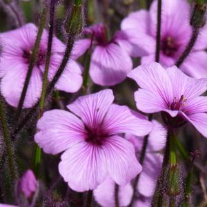 Geranium maderense Yeo (Géranium de Madère)