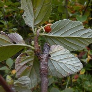 Sorbus aria (L.) Crantz subsp. aria (Alisier blanc)