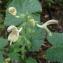 Ans Gorter - Salvia glutinosa L. [1753]