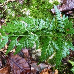 Photographie n°960889 du taxon Asplenium adiantum-nigrum L.