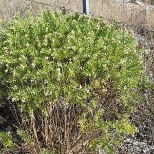 Photographie n°961668 du taxon Daphne gnidium L. [1753]