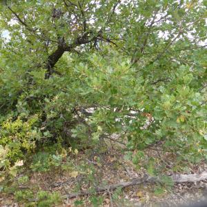 Photographie n°964768 du taxon Quercus pubescens Willd. [1805]